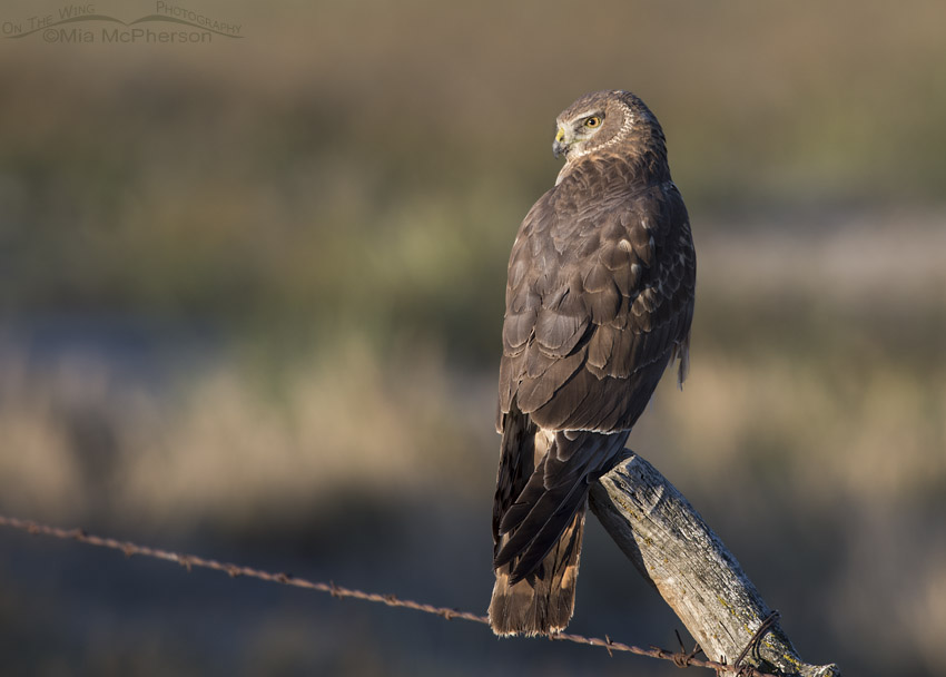 First Spring male Northern Harrier in golden morning light