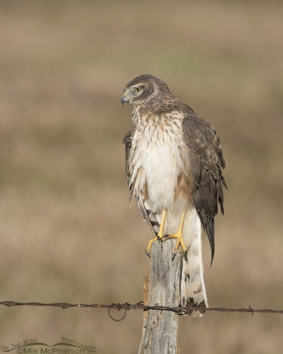 Northern Harrier at the end of May 2016