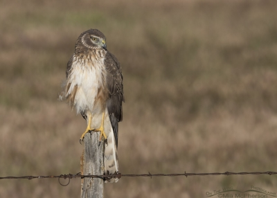 Male Northern Harrier in his first Spring