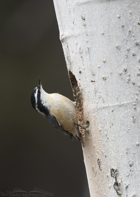 Red-breasted Nuthatch at a nesting cavity opening