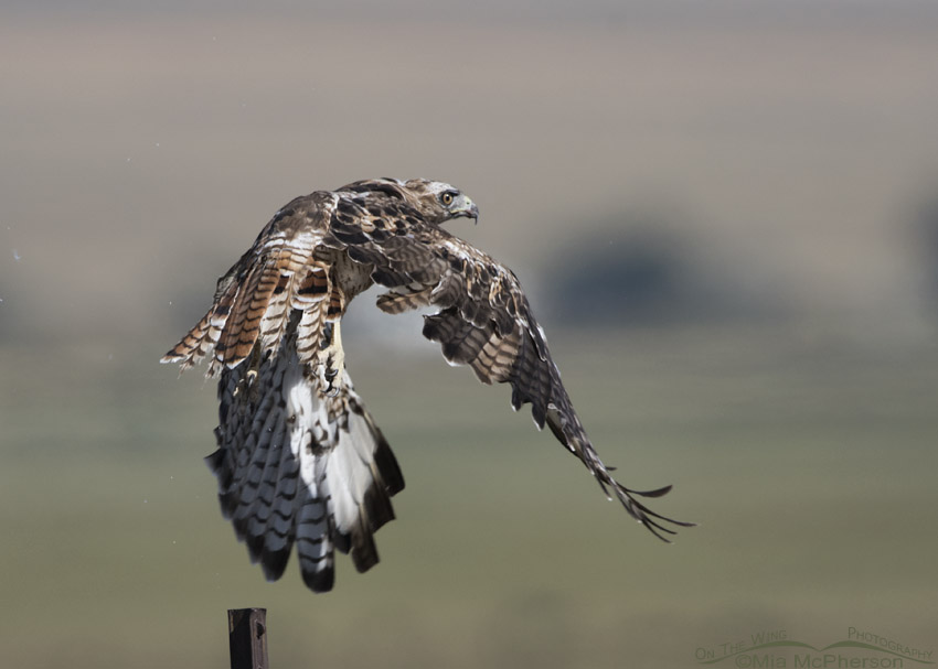 Rapid second pre-basic molt in a year old Red-tailed Hawk