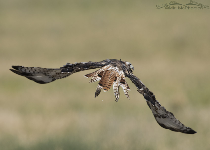 Flight image of molting one year old Red-tailed Hawk