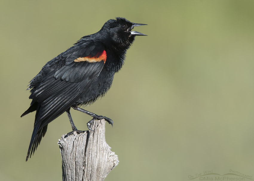 Singing male Red-winged Blackbird on a May morning