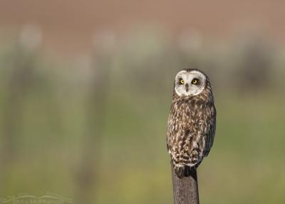 Short-eared Owl looking back over its shoulder