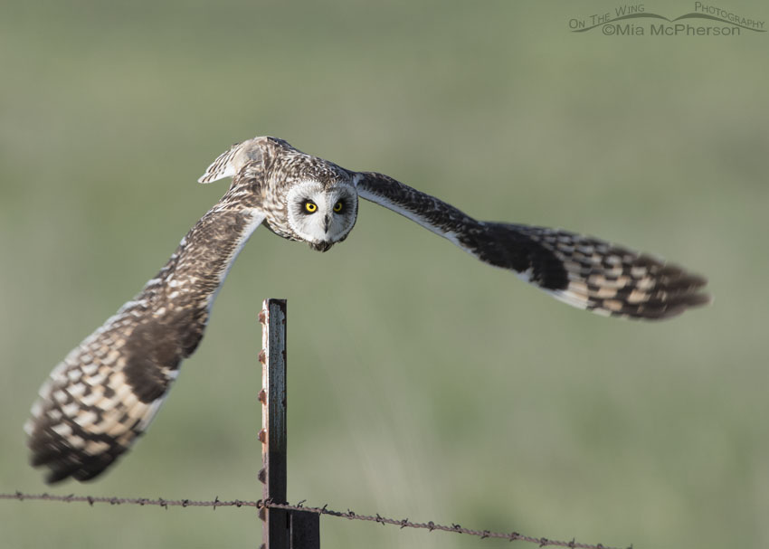 Male Short-eared Owl lifting off from a metal post