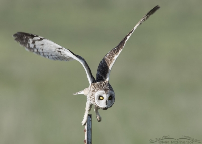 Head on lift of from a male Short-eared Owl