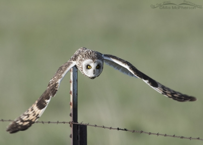 Male Short-eared Owl diving for prey