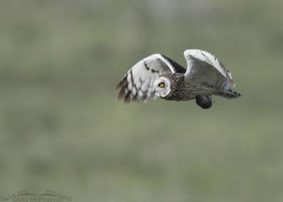 Male Short-eared Owl in flight with prey