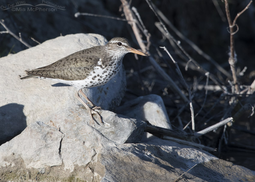 Spotted Sandpiper next to the Bear River
