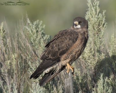Roadside Swainson's Hawk