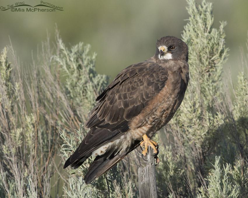 Roadside Swainson's Hawk