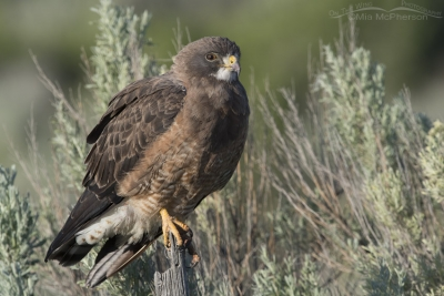 Morning light on a Swainson's Hawk