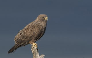 Dark morph Swainson's Hawk with shadowed mountains in the background