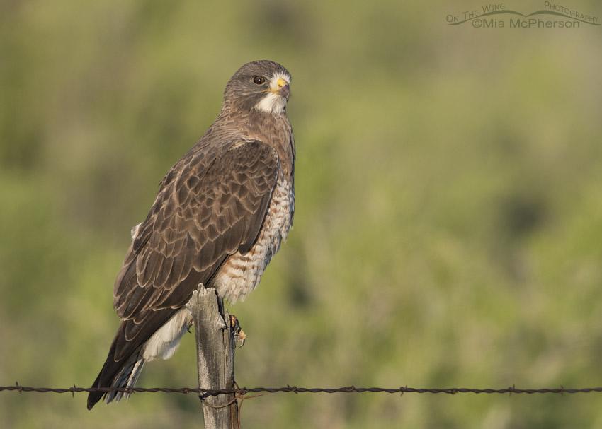 Staring Swainson's Hawk