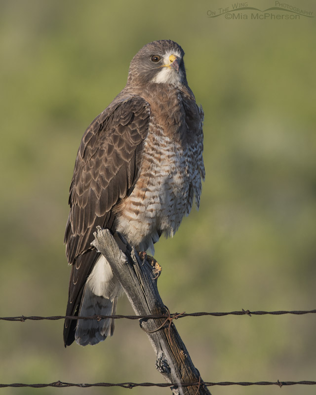 Glaring Swainson's Hawk