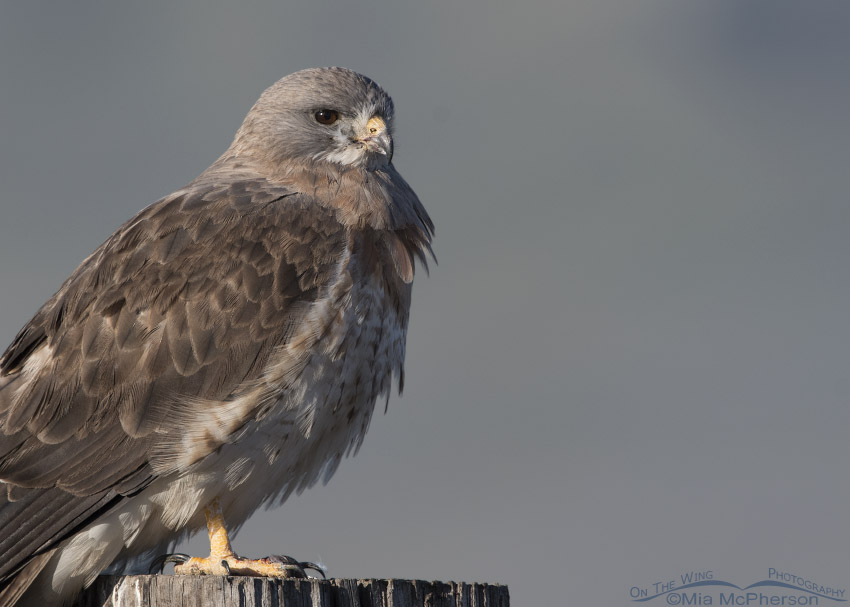 Light morph Swainson's Hawk close up with bluish background