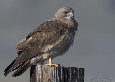 Swainson's Hawk light morph close up in profile