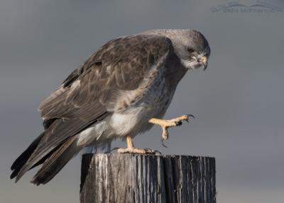 Light morph Swainson's Hawk view of talons