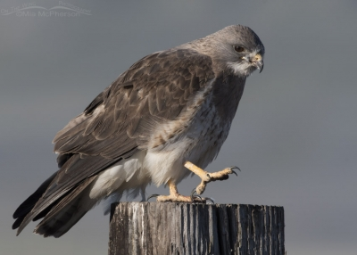 Light morph Swainson's Hawk adult about to scratch