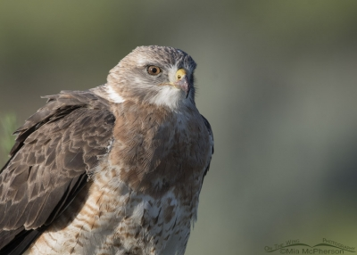 Close up of a sub-adult light morph Swainson's Hawk