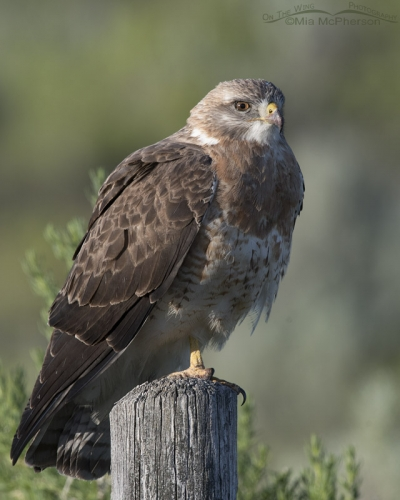 Light morph sub-adult Swainson's Hawk on a post
