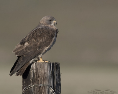 Light morph Swainson's Hawk perched on a square post