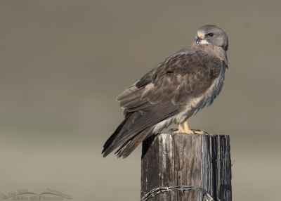 Light morph Swainson's Hawk side view