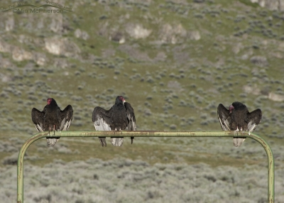 Three thermoregulating Turkey Vultures on a green gate