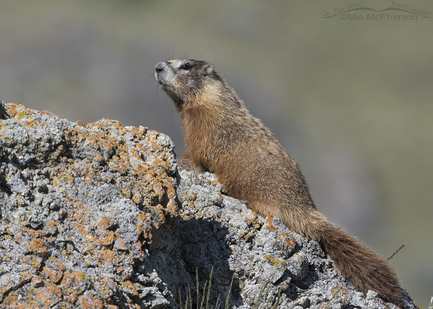 Adult Yellow-bellied Marmot on the look out