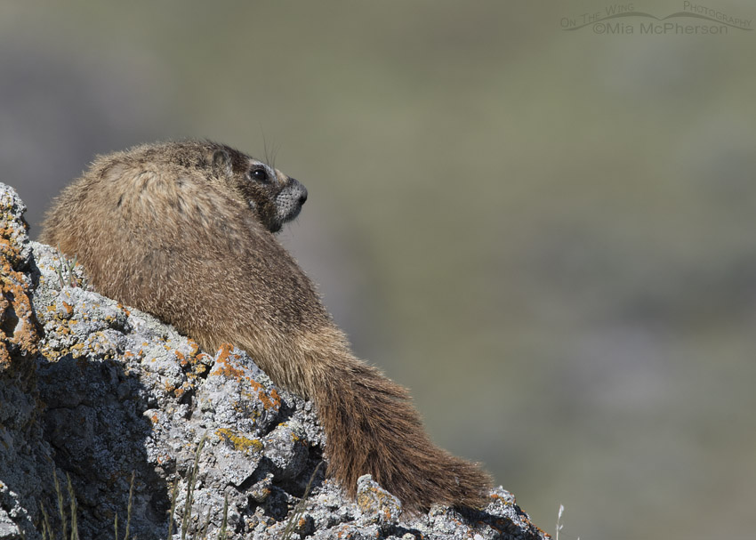 Adult Yellow-bellied Marmot keeping an eye out for its pups