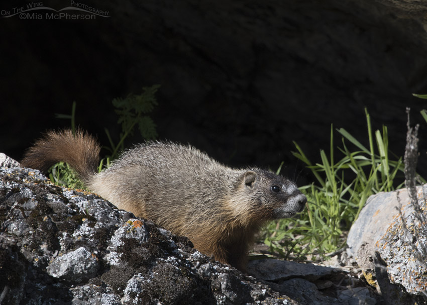 Yellow-bellied Marmot pup near a shallow cave