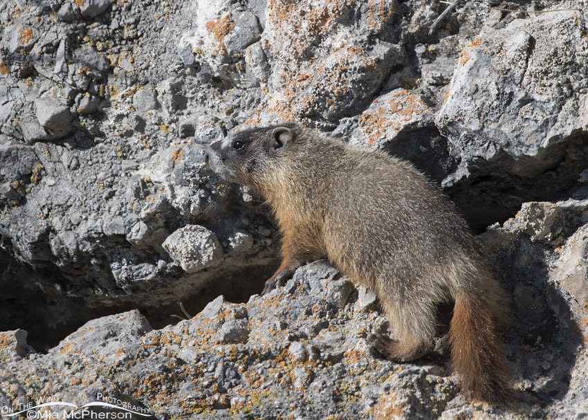 Yellow-bellied Marmot pup on a rock face