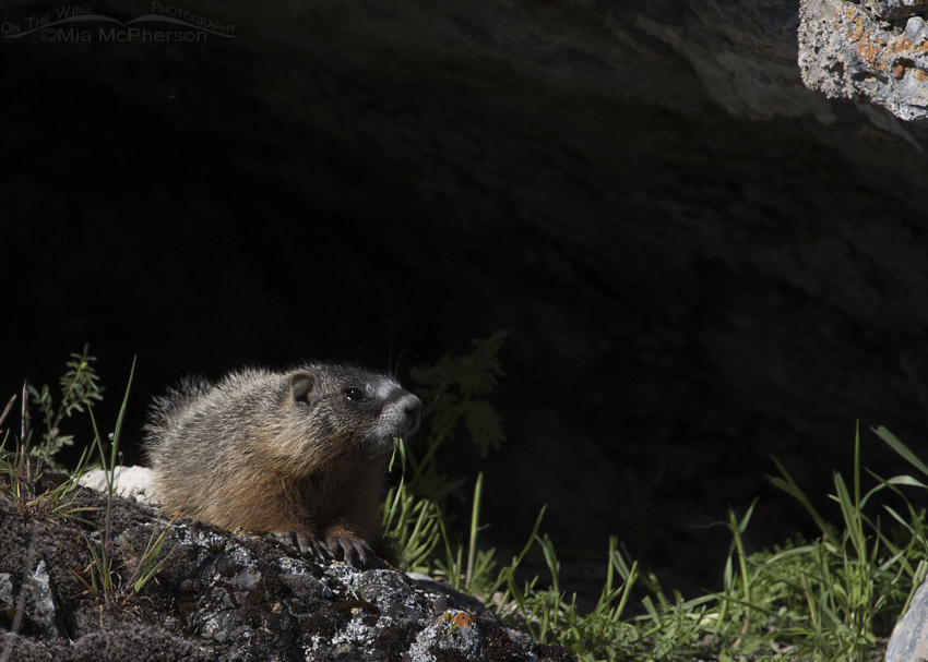 Yellow-bellied Marmot pup eating grass