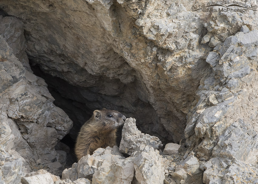 Yellow-bellied Marmot pup at an opening in the rocks