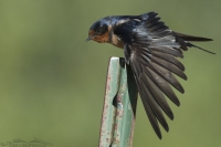 Stretching Barn Swallow adult
