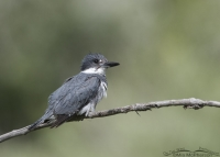 Male Belted Kingfisher perched on a thin branch