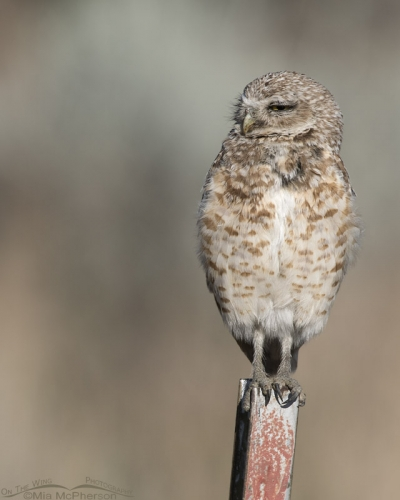 Sleepy adult Burrowing Owl male