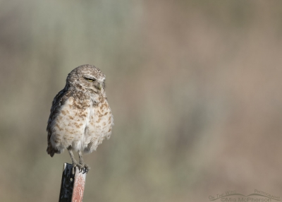 Sleepy looking Burrowing Owl male