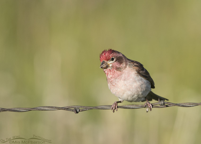 Curious male Cassin's Finch