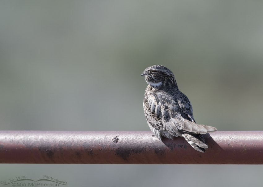 Common Nighthawk resting on a red gate