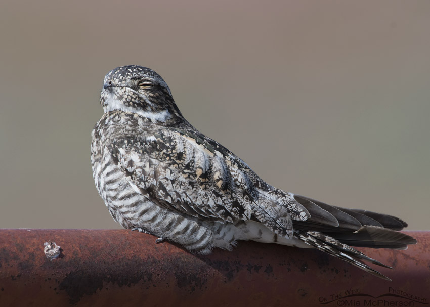 Common Nighthawk Images