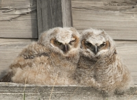 Great Horned Owl chicks outside of a granary