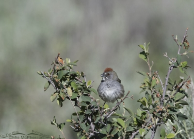 Green-tailed Towhee small in the frame