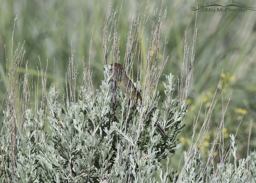 Green-tailed Towhee hidden in sage