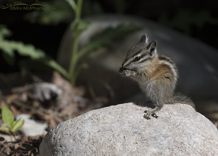 Least Chipmunk eating on a rock