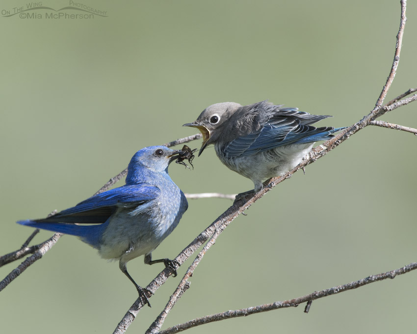 Male Mountain Bluebird feeding a cricket to a juvenile