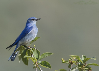 Male Mountain Bluebird in Summit County