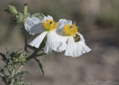 Bumble Bee and Prickly Poppies