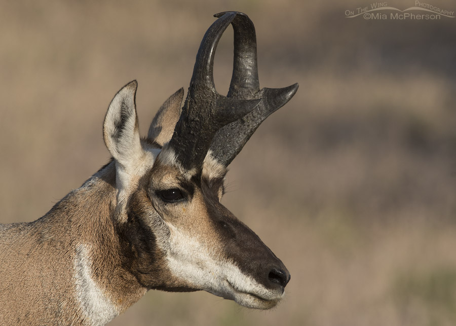 Buck Pronghorn Close up