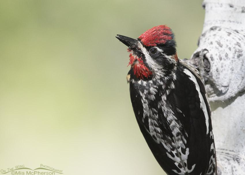 Female Red-naped Sapsucker Close up